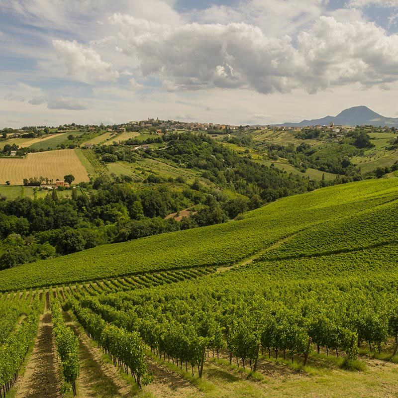 The Castelli di Jesi Vineyards